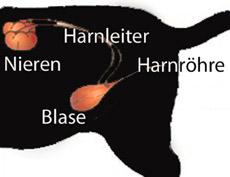 Anatomie Harnwege