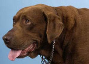Hund mit Hypothyreose